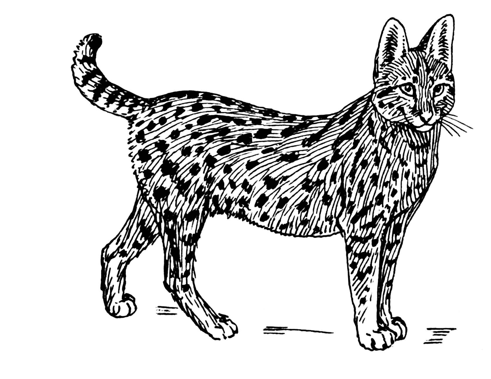 40 Imágenes Abstractas Para Descargar E Imprimir: 40 Dibujos De Pumas Para Colorear