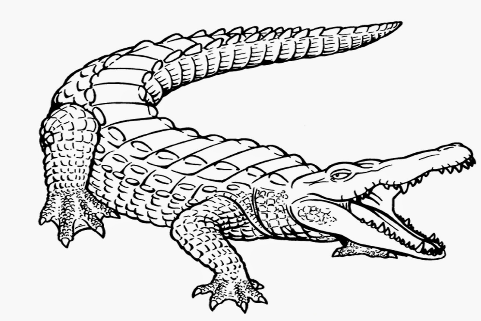 coloring page of alligator download